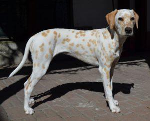 Jolie Chérie, 8,5 Monate alt, 53 cm, 18 kg